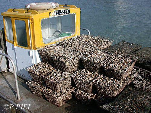 Huîtres récoltées pour affinage en claires, Château d'Oléron, mars 2004