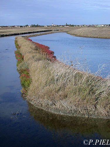 Marais de Souhe à l'automne quand les salicornes commencent à rougir, sept.2003